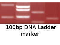 100bp DNA Ladder marker