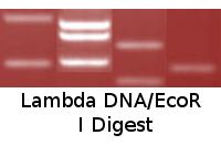 Lambda DNA/EcoR I Digest