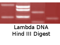 Lambda DNA Hind III Digest