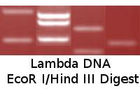 Lambda DNA  EcoR I/Hind III Digest