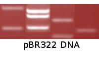 pBR322 DNA