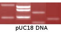 pUC18 DNA