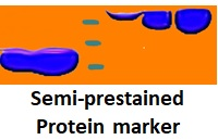 Semi-prestained Protein Marker