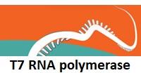 T7 RNA polymerase