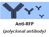 anti-RFP