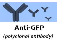 anti-GFP