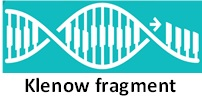 DNA Polymerase I Large Fragment  (Klenow Fragment)