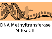DNA Methyltransferase M.BseCI