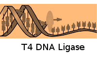 T4 DNA Ligase