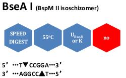 BseA I (BspMII isoschizomer)