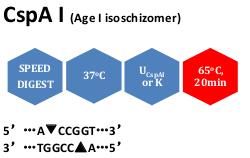 CspA I (Age I isoschizomer)