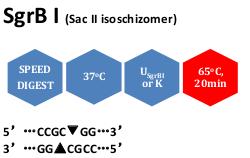 SgrBI (SacII isoschizomer)